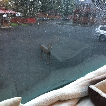 Hoodsport, WA: Deer