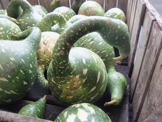 Jericho, NY: Swan gourds