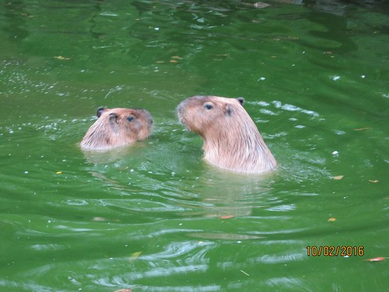 Norristown, Pensilvania: Capybara- largest rodent int he world