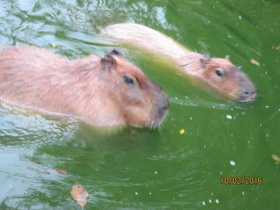 Norristown, PA: Capybara- largest rodent int he world