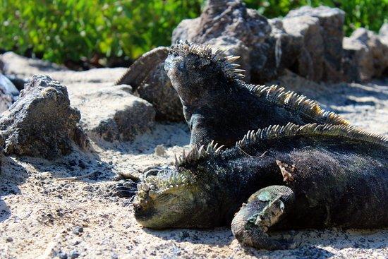 Puerto Villamil, Ecuador: El Estero (Isabela): Meerechsen (Amblyrhynchus cristatus)