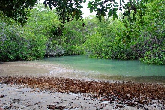 Puerto Villamil, Equador: El Estero (Isabela): Mangroven (Ökosystem)