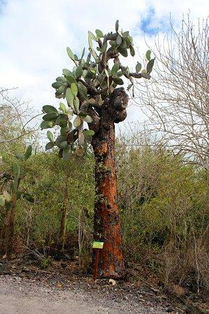 Puerto Villamil, Equador: El Estero (Isabela): Kaktus (Opuntia echios)