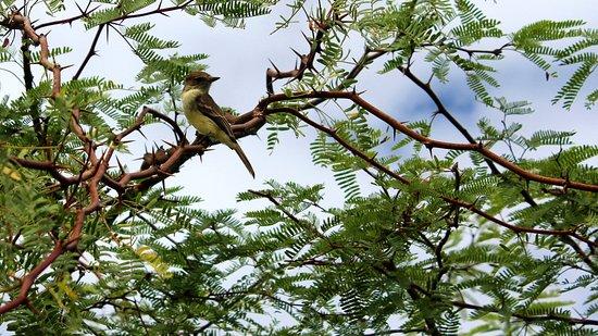 Puerto Villamil, Equador: El Estero (Isabela): Gold-Waldsänger (Setophaga petechia)