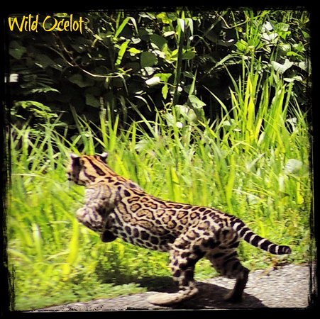 Liquid Magic Surf Resort: Wild Ocelot picture taken by one of our guests