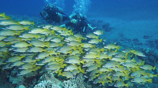 Hawaiian Rafting Adventures : Large schools of blue striped snappers at Lanai Island on our dive (photo by Steve Juarez)