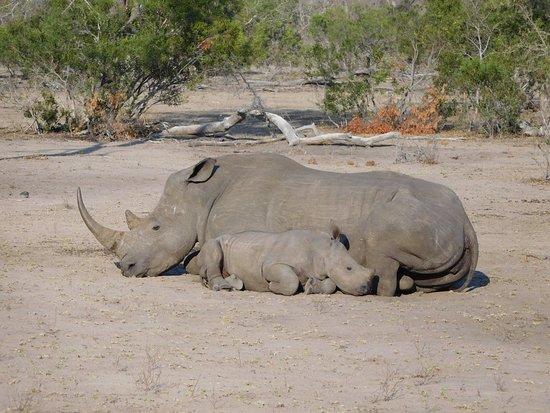 Simbambili Game Lodge: Rhino nap time