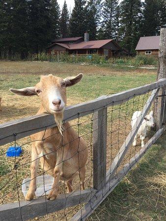 Cedar Mountain Farm Bed and Breakfast: Friendly Goats!