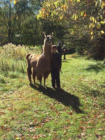 Waconia, MN: Carlson's Lovable Llamas