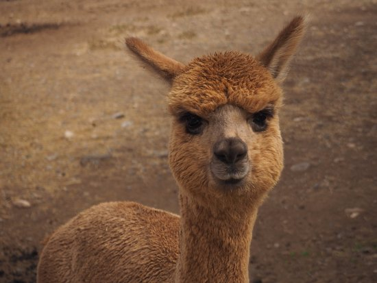 Suncrest Orchard Alpacas: Al the Paca