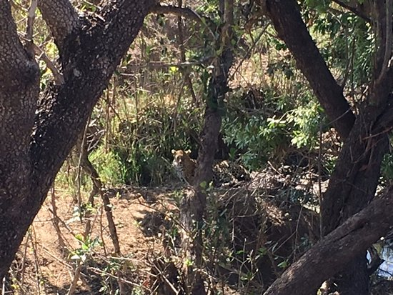 Singita Private Game Reserve, África do Sul: A new leopard hiding behind some trees