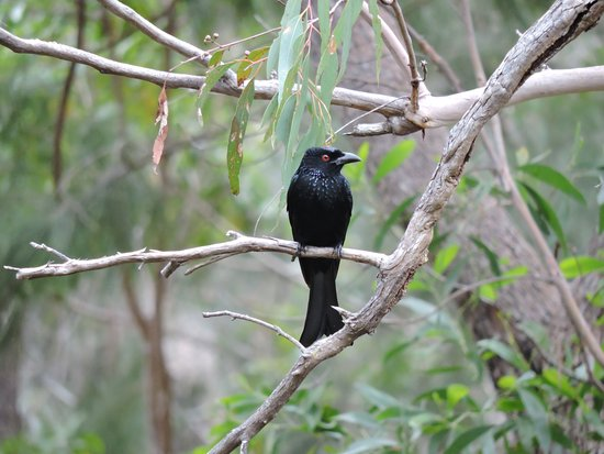 Coolum Beach, Australia: Spangled Drongo