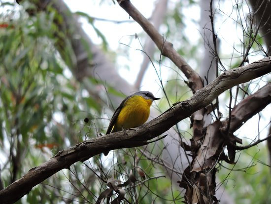 Coolum Beach, Australië: Eastern Yellow Robin