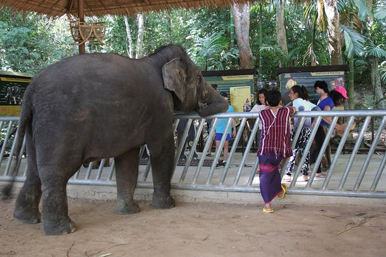 Chalong, Thailand: Young elephant