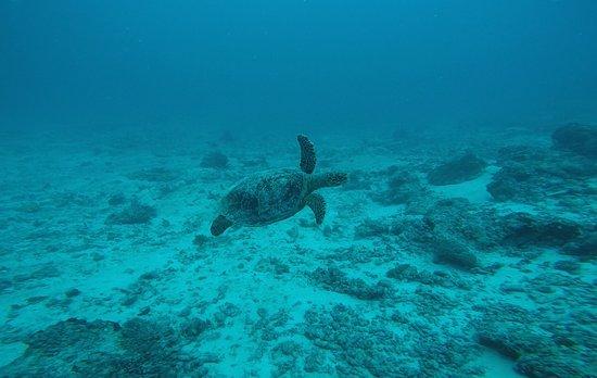 Thulusdhoo Island: Turtle