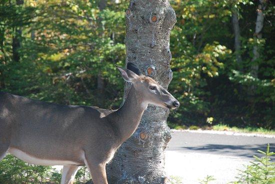 Stoneham-et-Tewkesbury, Canadá: Hirschkuh im Park