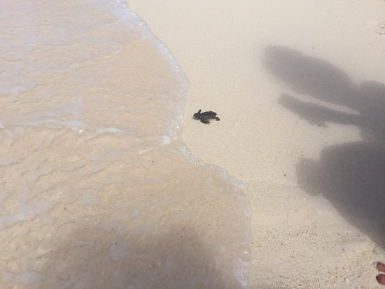 Ocean Two Resort & Residences: Sea turtles hatched on the beach! Crazy!