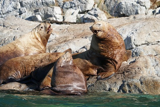 Sonora Island, Canada: Stellar Sea Lions out of the water near the resort.