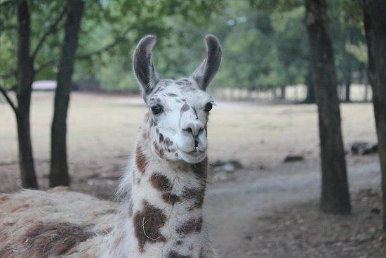 Harmony Park Safari : One of the Lamas. They had a lot of them.