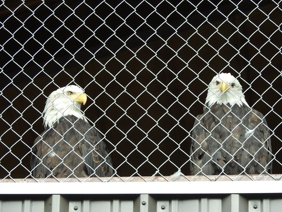 Bald eagles, Haines