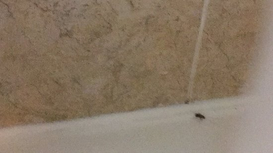 Ironshore, Jamaica: Roaches walking around the bathtub