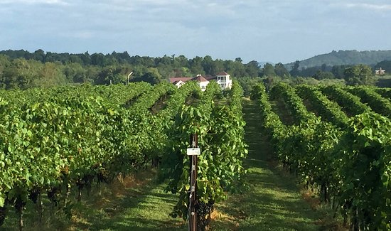 Amissville, Virginie : Narmada has 20 acres of grapes (2016) planted on our 51 acre farm.