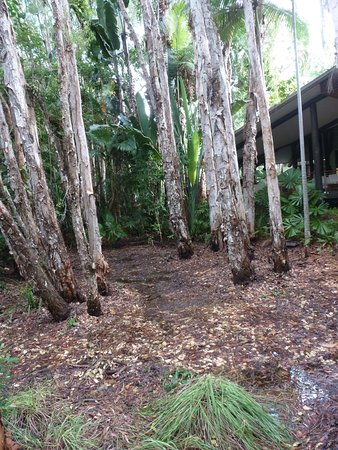 Kewarra Beach, Australia: Paperbark Trees