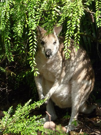 Kewarra Beach, Australia: Wallaby at our bungallow