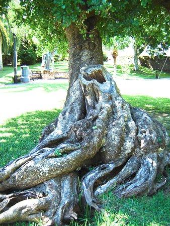 Hamilton, Bermuda: Treebeard Lives in Queen Elizabeth Park