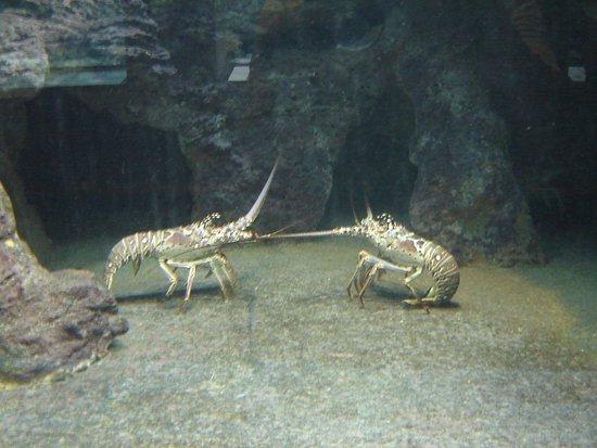 "Hamilton, Bermuda: ""Dueling"" Spiny Lobsters"