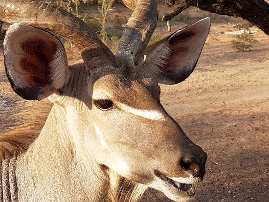 Marloth Park, แอฟริกาใต้: Kudu in the hotel garden