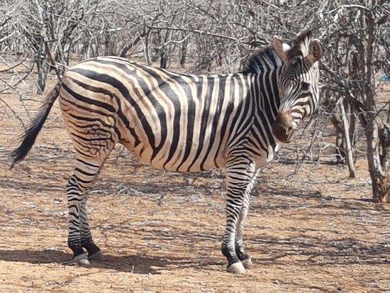 Marloth Park, แอฟริกาใต้: We met 4 zebras walking around the hotel