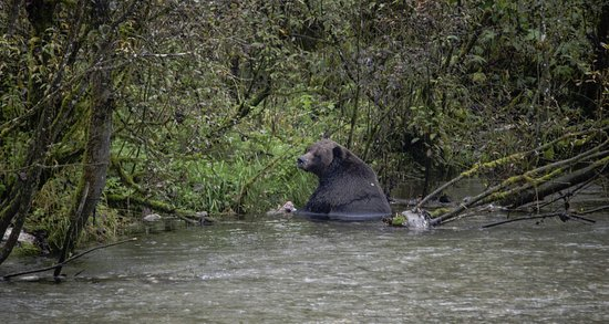 "Hyder, AK: Grizzly/Brown Bear, could this be ""Dog Bear""?"