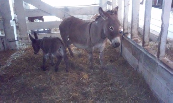 Yoder's Amish Home : This is a Baby donkey that is just a few days old.