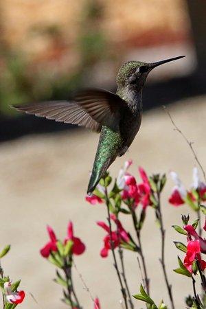 Placerville, CA: hummingbird
