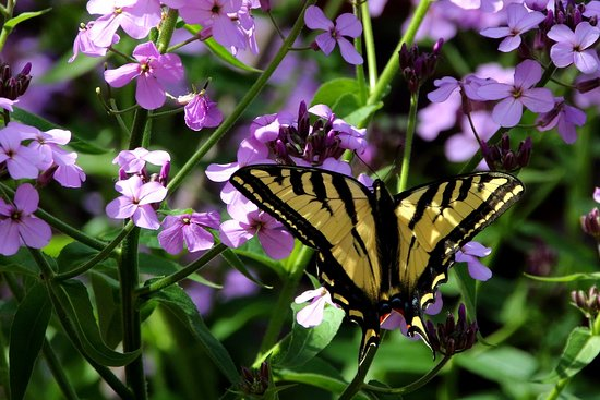 Placerville, CA: Swallowtail butterfly