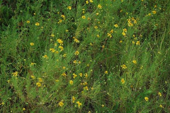 St. Marks National Wildlife Refuge: Roadside wild flowers
