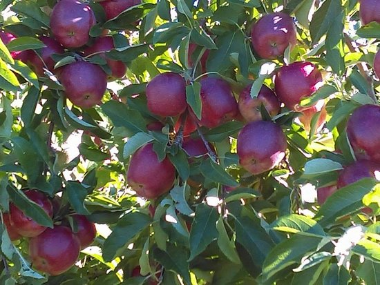 Gould Hill Farm: So many apples on each tree!