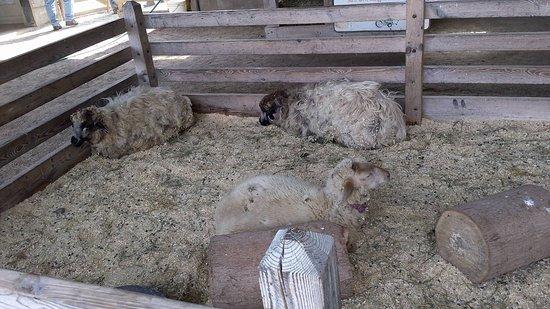 Shelburne, VT: sheeps