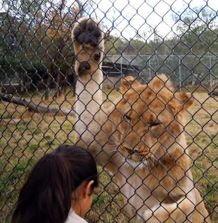 Winston, Oregón: keeper feeding a young male lion - this was an encounter - do NOT get out of your car!