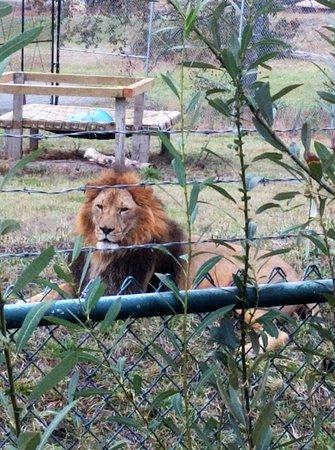 Winston, Oregón: handsome male lion