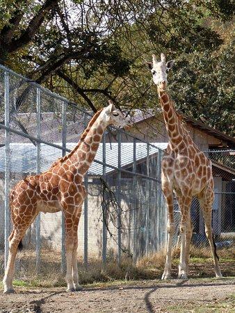 Winston, Oregón: baby giraffe :D