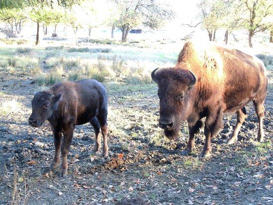 Winston, Oregón: baby bison