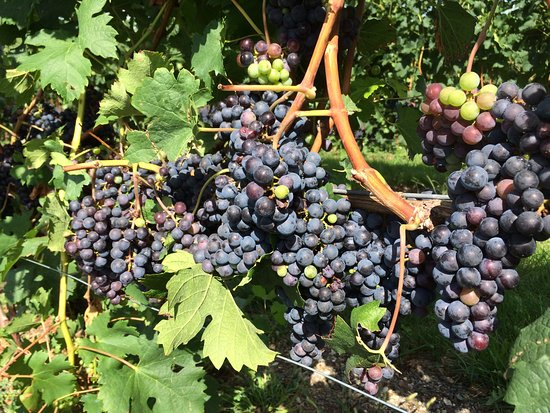 Grapes getting ready for harvest