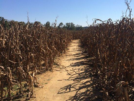 Springfield, TN: Corn maze