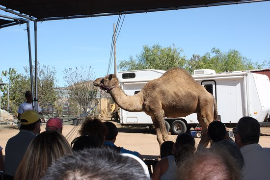 Ramona, Californië: Learning about the camel