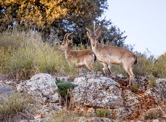Dona Ruidera: Cabras montesas en el parque natural