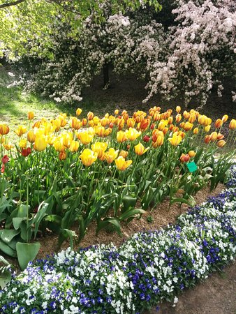 Sutton, Austrália: tulips and crabapple