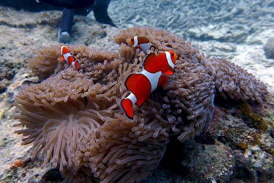 Kadena-cho, Japan: Nemo - Peixe Palhaço - Mergulho em Okinawa