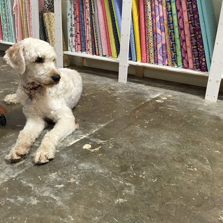 The New River Fiber Co.: Scout, the Goldendoodle visits the shop from time to time.